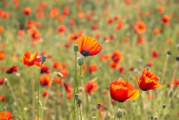 緑の草と美しい赤いポピーのフィールド