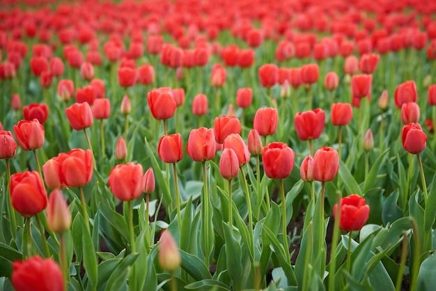春の美しい赤いチューリップ畑