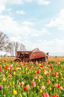 真ん中に古いさびたトラクターで咲く美しい色とりどりのチューリップのフィールド