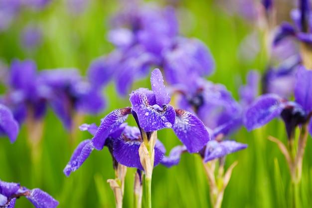 咲く紫色のアイリスのフィールド