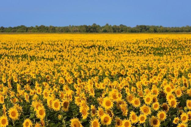 ひまわりが咲く畑。農業をテーマにしたデザインの背景。田舎の日当たりの良い風景
