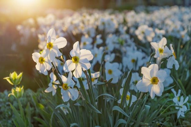 公園、夕方の光に咲く白い水仙のフィールド