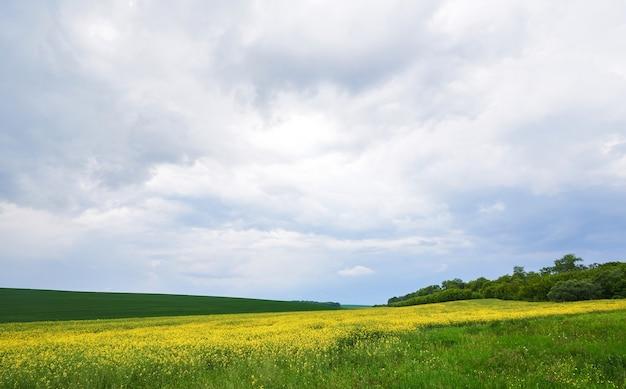 Поле ярко-желтого рапса весной.
