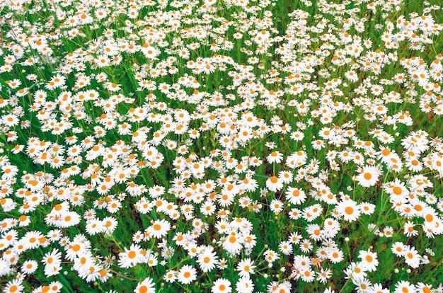 夏に咲くカモミールのフィールド