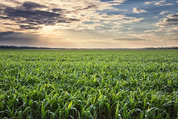 Поле кукурузы на закате