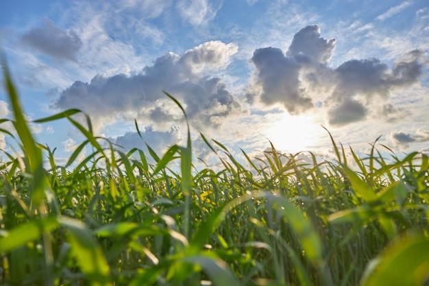 曇り空と夕日とトウモロコシのフィールド