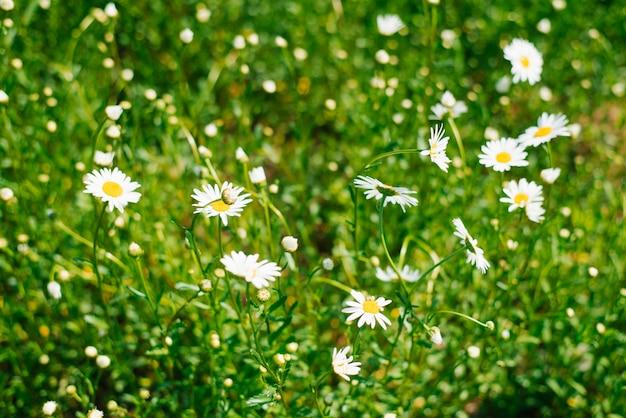 ヒナギクのフィールド。白いデイジーの花は牧草地や庭の夏に咲きます。セレクティブフォーカス