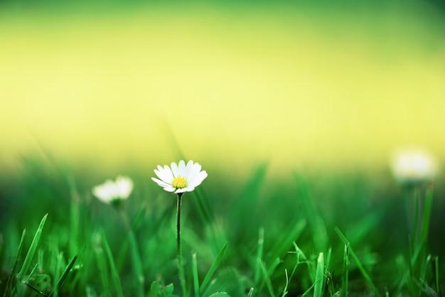 데이지 꽃의 필드입니다. 태양 신선한 녹색 봄 잔디 누출 효과. 여름 개념. 추상 자연 배경입니다.