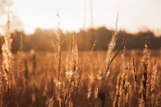 夕日の光線の下で乾いた草のフィールド。