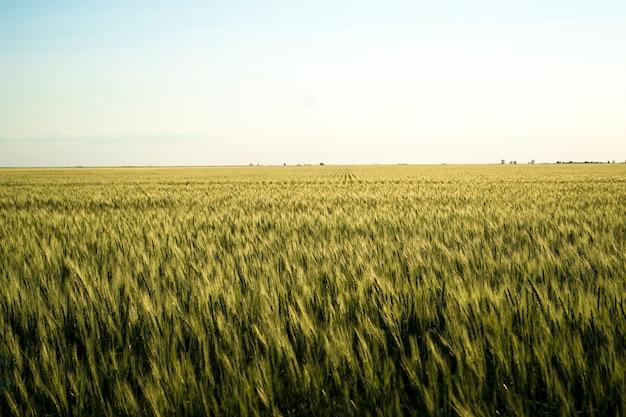 Поле твердых сортов пшеницы, естественно выращенная пшеница