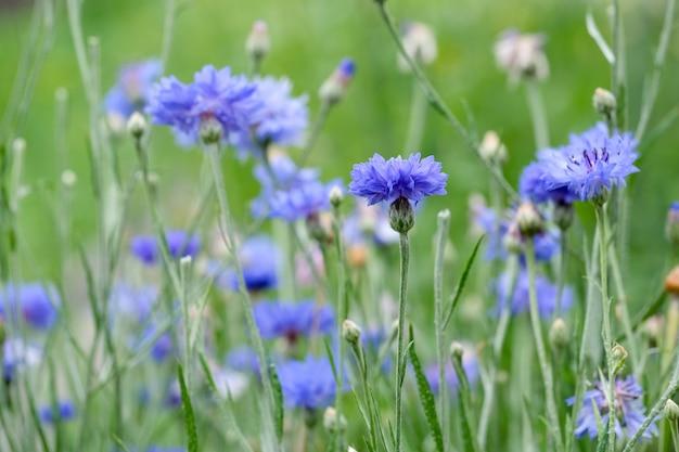 開花ヤグルマギクの畑、青いヤグルマギクの夏の牧草地。自然な花の背景。閉じる