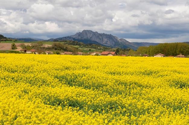 バルデゴビアの開花菜種(brassicanapus)の畑。アラバ。バスク。スペイン