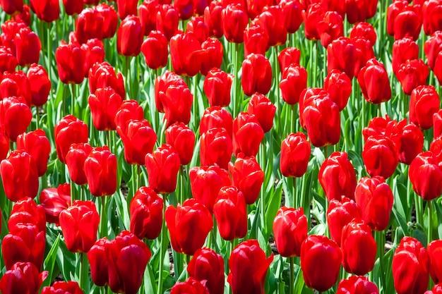 庭の新鮮な美しい赤いチューリップの花のフィールド