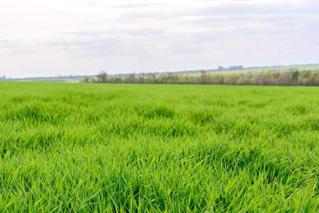 Поле свежей зеленой травы текстуры как фон, вид сверху крупным планом, горизонтальный