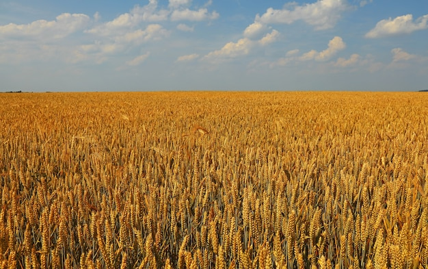 맑고 푸른 하늘 아래 황금 익은 밀 또는 호밀 귀 필드, 높은 각도보기