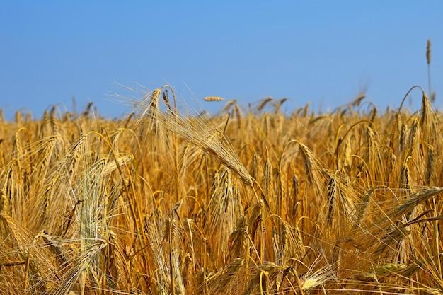 맑고 푸른 하늘 아래 황금빛 익은 밀 또는 호밀 귀의 들판, 높은 각도