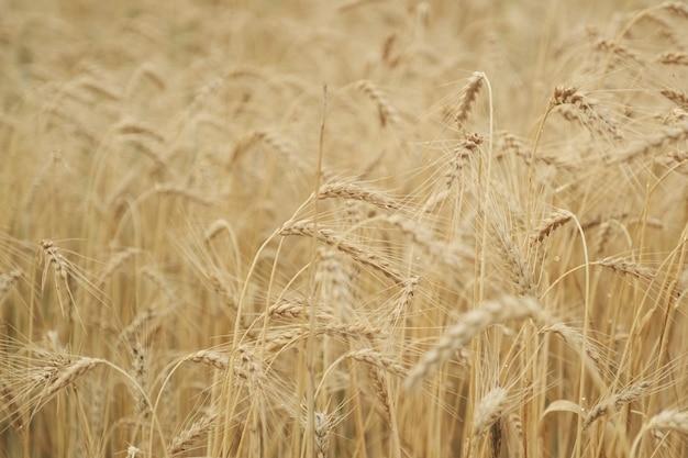 ゴールデンイエローの熟した小麦のフィールドをクローズアップ、背景テクスチャ