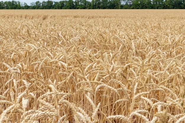 穀物、小麦のフィールドをクローズアップ。農業、農業経済概念