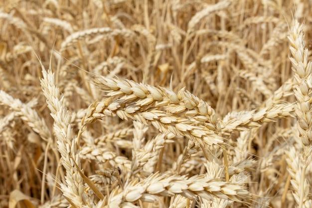 穀物小麦のフィールドをクローズアップ。農学のコンセプト