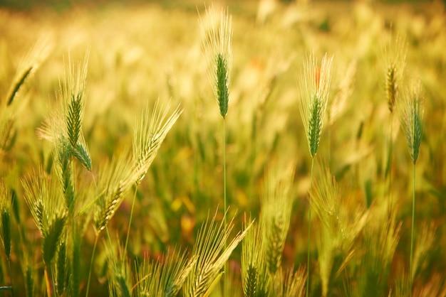 日没時の芝生のフィールド。自然の背景