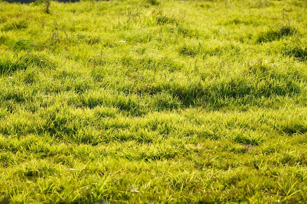 草のフィールドは、春の朝の日差しを反映し、平和と静けさのために自然な緑の抽象的な背景