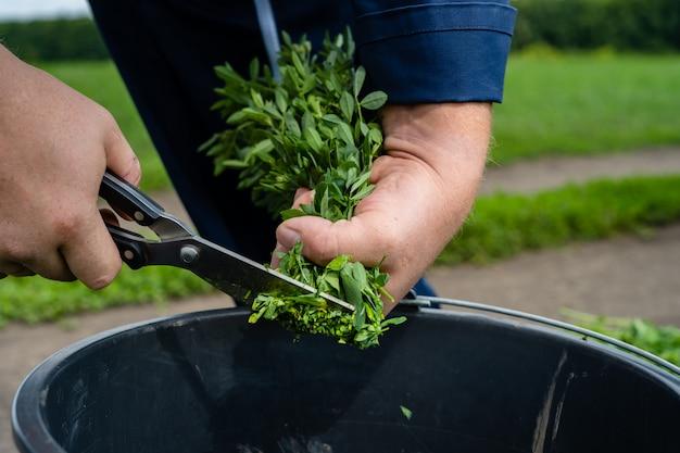 녹색 알팔파 깎기위한 준비의 분야