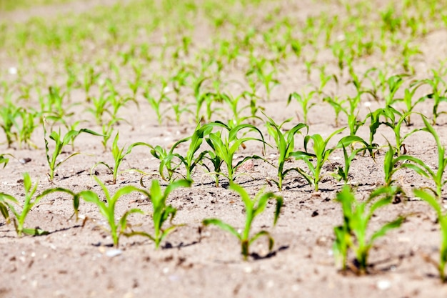 グリーンコーンの畑-作物を育てる農地-トウモロコシ。春。閉じる