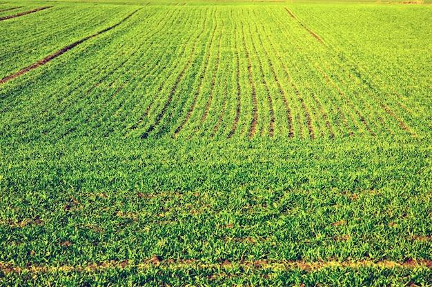 緑の作物のフィールド