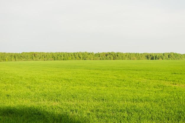 Поле зеленой травы и прекрасного неба и деревьев. сельский весенний пейзаж.