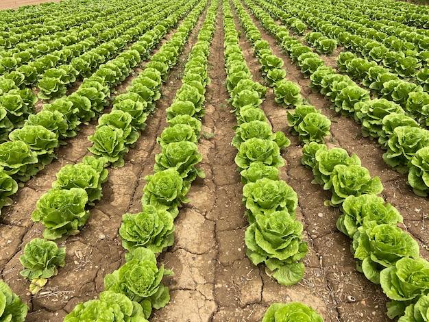 消失点のある緑の野菜畑が一列に並んでいます