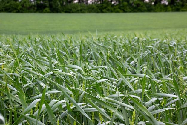 遠くに木がある緑の小麦畑。