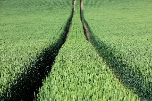 Поле зеленой пшеницы