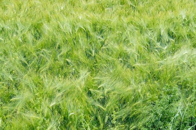 많은 이삭이 있는 녹색 보리가 자라는 들판을 닫습니다.
