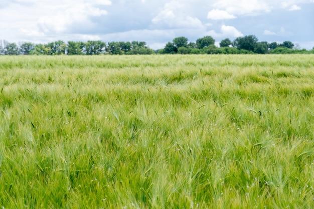많은 작은 이삭이 자라는 녹색 보리밭. 경치 좋은 시골풍경