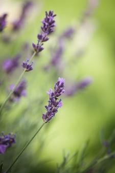 Поле крупным планом цветок лаванды на размытом фоне
