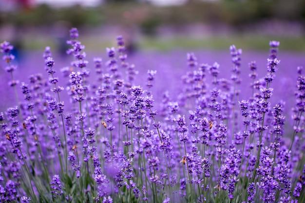 라벤더 꽃의 분야