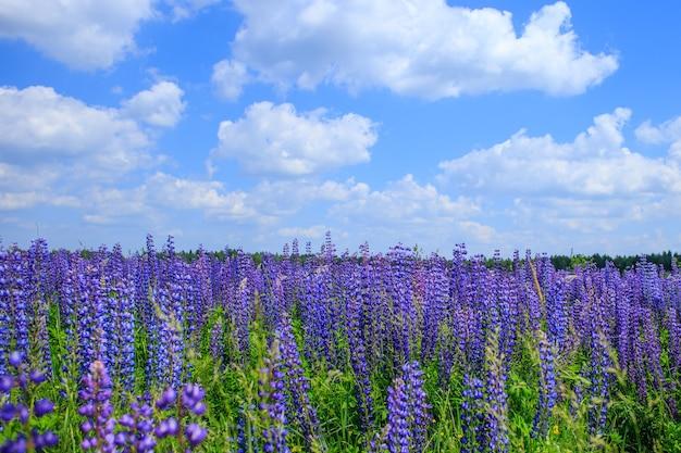 푸른 하늘 아래 루피 너스 꽃의 분야