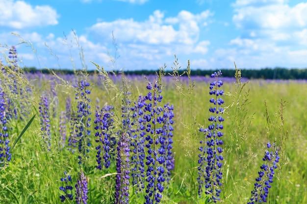 Поле цветов люпина под голубым небом.