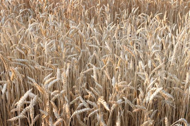 성숙한 밀의 필드입니다. 밀 수확. 농업