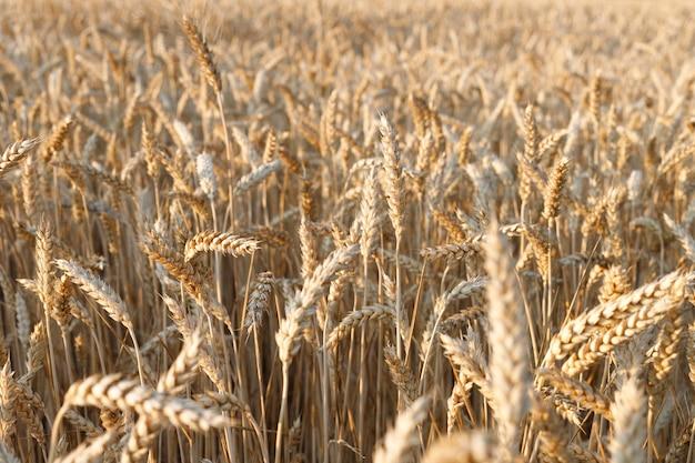 成熟した黄色い小麦のクローズアップのフィールド。農業の背景