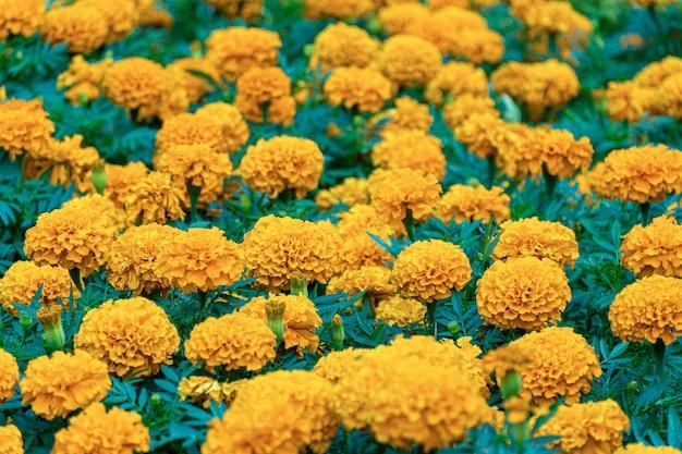 公園のオレンジ色の花のフィールド