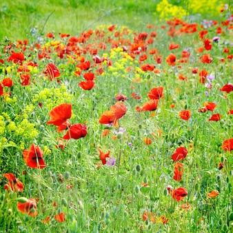 緑の草と黄色い花のポピーのフィールド