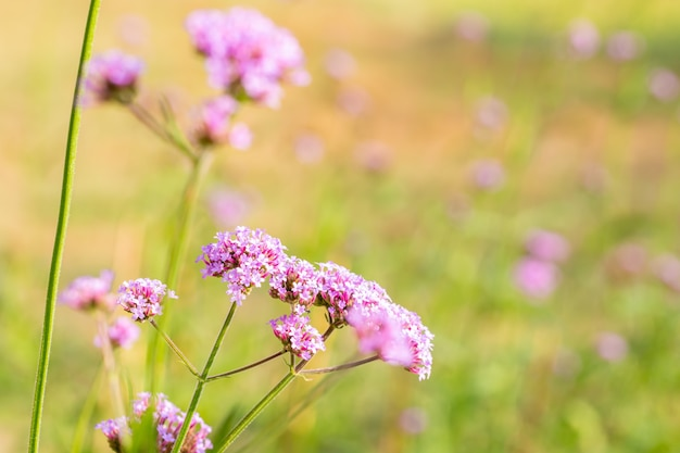 紫色のバーベナのフィールド、クマツヅラ科の植物、小さな花びらと緑の葉、選択的なフォーカスポイント、テキスト用のスペース。
