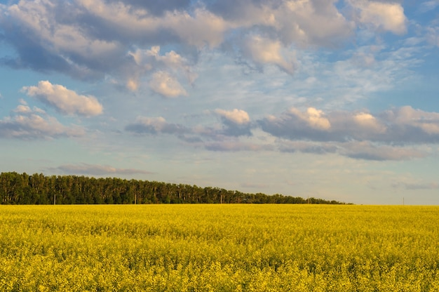 雲と空を背景に菜種のフィールド