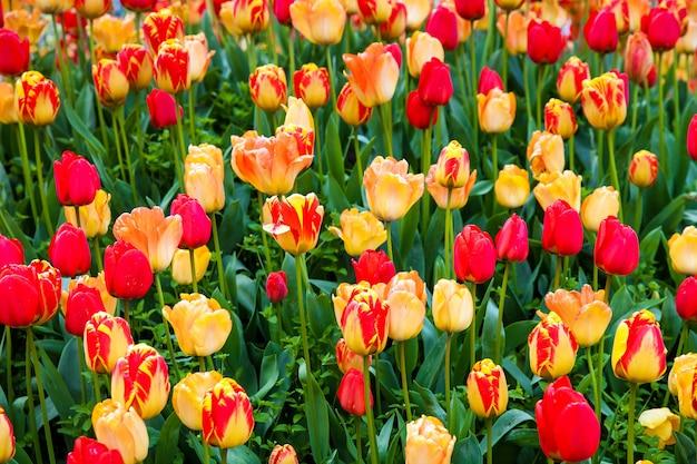 オランダ、キューケンホフ公園の赤と黄色のチューリップ畑