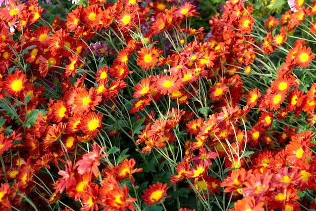 Поле красно-желтых и оранжевых хризантем