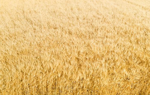 솜털 수염이 있는 익은 황금 보리밭, 추상적인 자연 패턴, 공중 전망