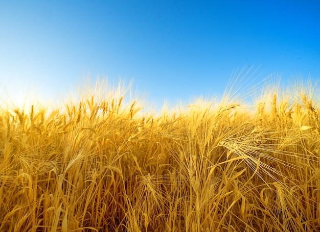 보송보송한 수염이 있는 익은 황금 보리밭, 자연 패턴