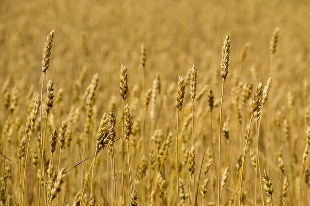 Поле спелой золотой пшеницы крупным планом