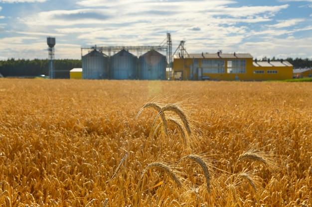Поле спелой пшеницы и промышленный комплекс для очистки и сушки зерна на фоне. цистерны металлические для зерна.